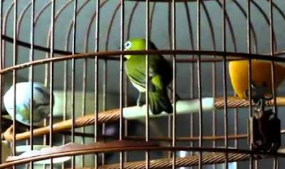 Daftar Harga Terbaru Sangkar Burung Pleci Saat Ini 2018 Paling Lengkap