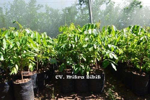 CV. Mitra Bibit: Jual Bibit Kelengkeng Kristal Seri 2