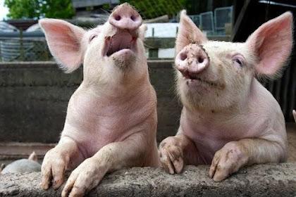 6 Alasan Berbahaya untuk tidak memakan babi.