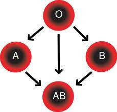 فصائل الدم وتوافقها بين الزوجين لإنجاب طفل سليم