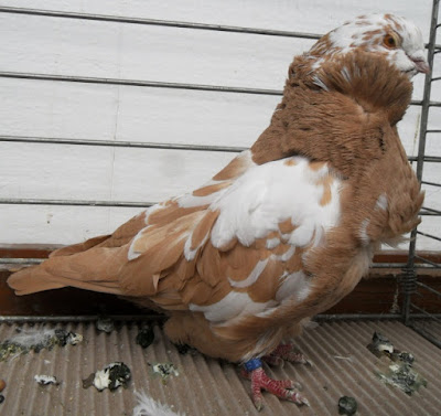 owl pigeons - fancy pigeons breed