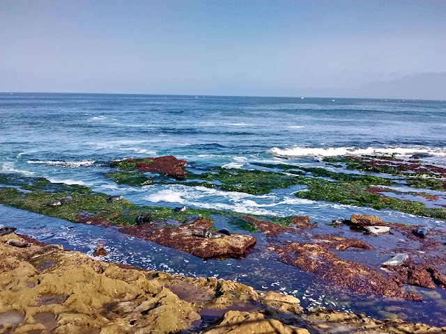 Harbor Seals enjoying the tide pools