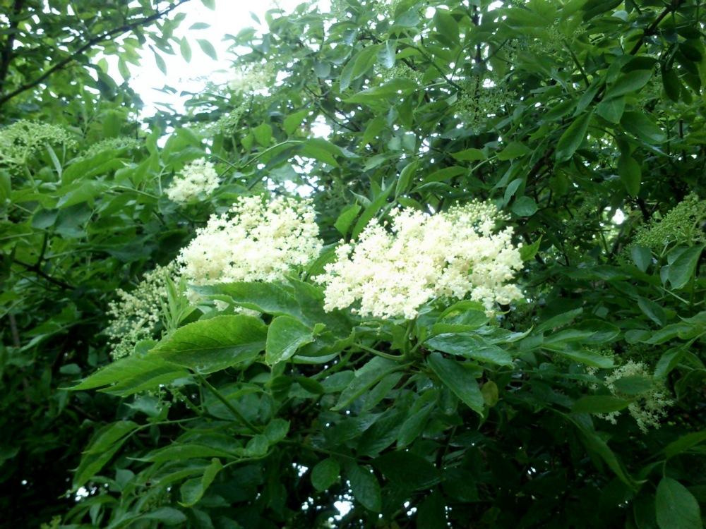 syrop-z-kwiatow-czarnego-bzu