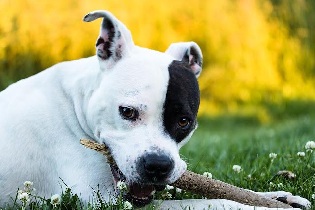 Staffordshire Bull Terrier noir et blanc : Elevage, caractère, catégorie