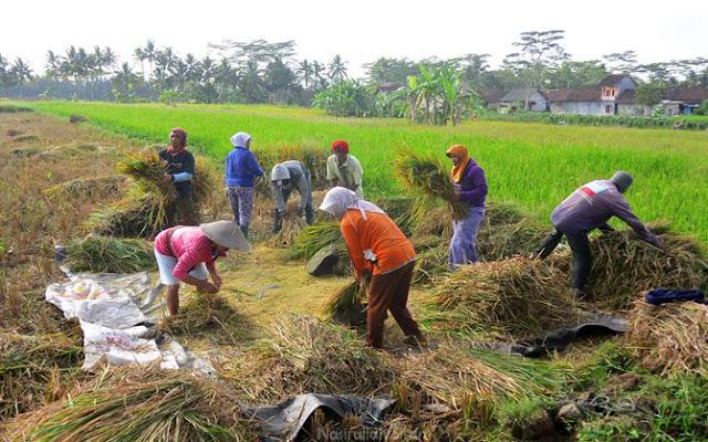Gotong royong memanen padi