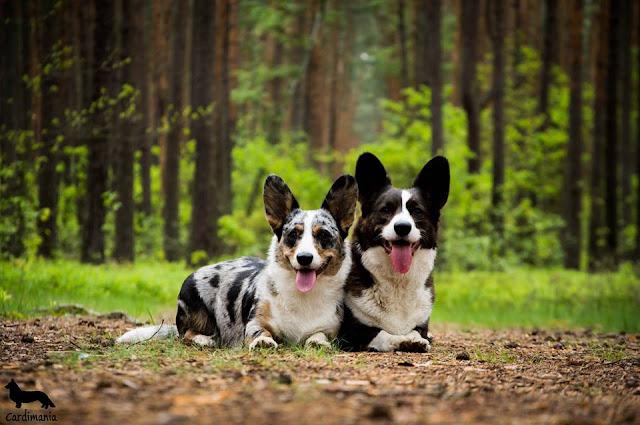 Twiggy, Yuma, pies, las, Kampinos, Puszcza, Kampinoski Park Krajobrazowy, podróże z psem, Warszawa, corgi, welsh corgi, cardigan