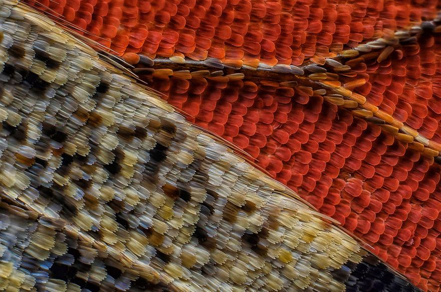 2016 Nikon Macro Photo Contest Winners Show The World Like You've Never Seen Before - Eleventh Place. Scales Of A Butterfly Wing Underside