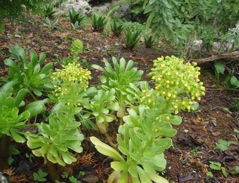 plantas crasas en flor