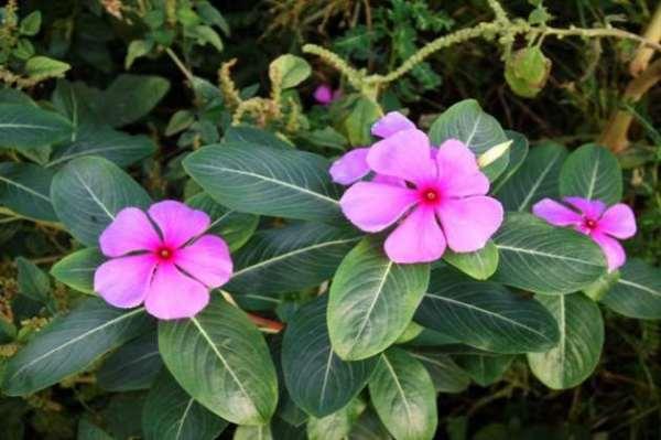 Khasiat Bunga Tapak Dara Untuk Kanker