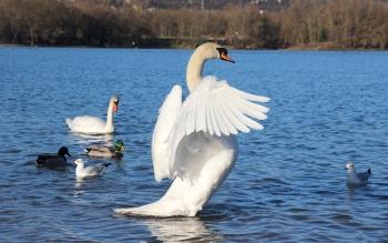 Wallpaper: Swans, ducks and gulls