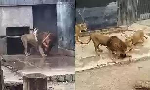 Lions attack man in Santiago's zoo