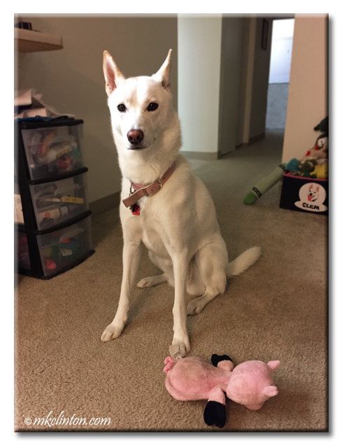 Clementine (White Shepherd/Husky mix) loves her Hear Doggy! toy