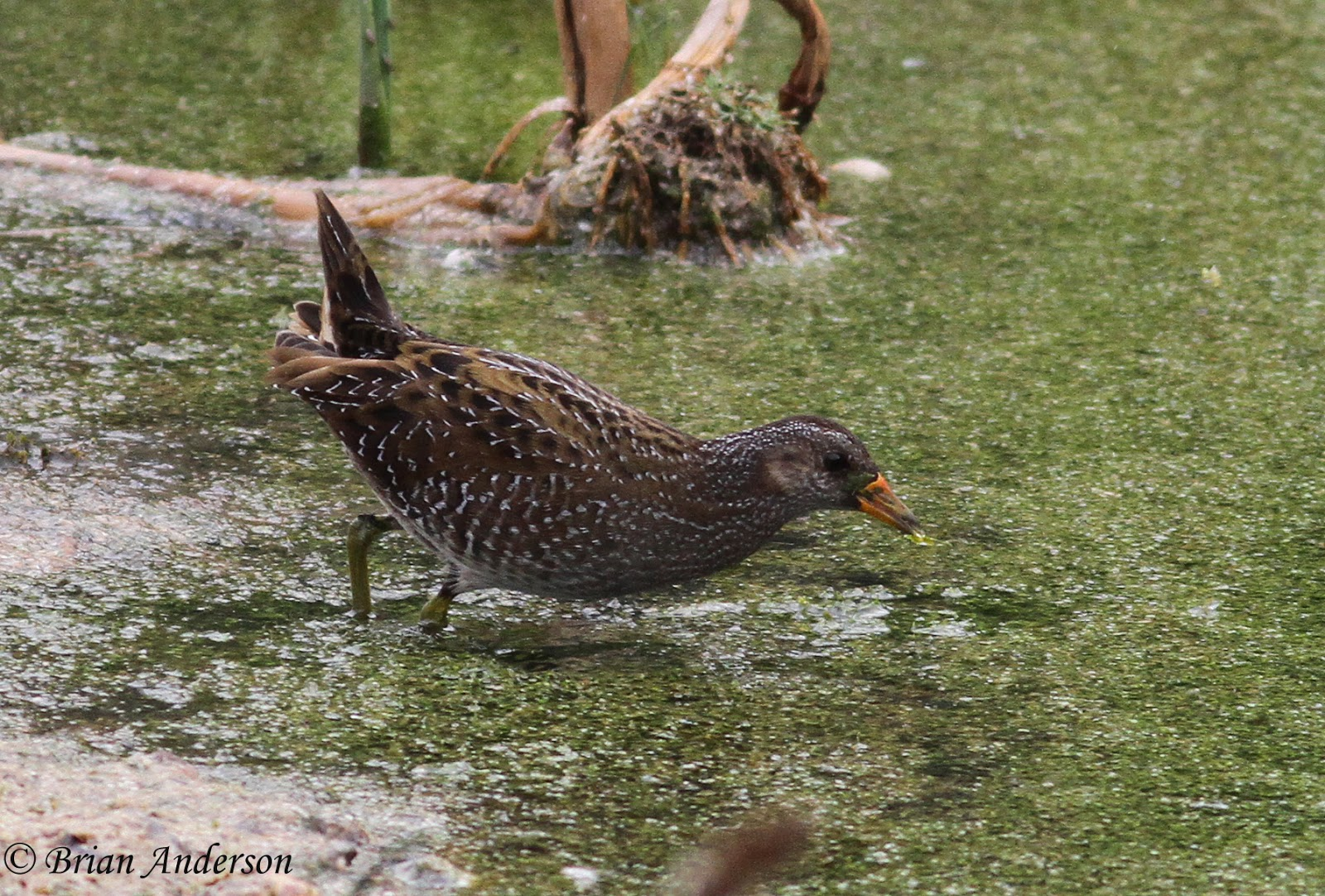 Brian's birding blog: Spotted Crake at Oare marsh RSPB in Kent
