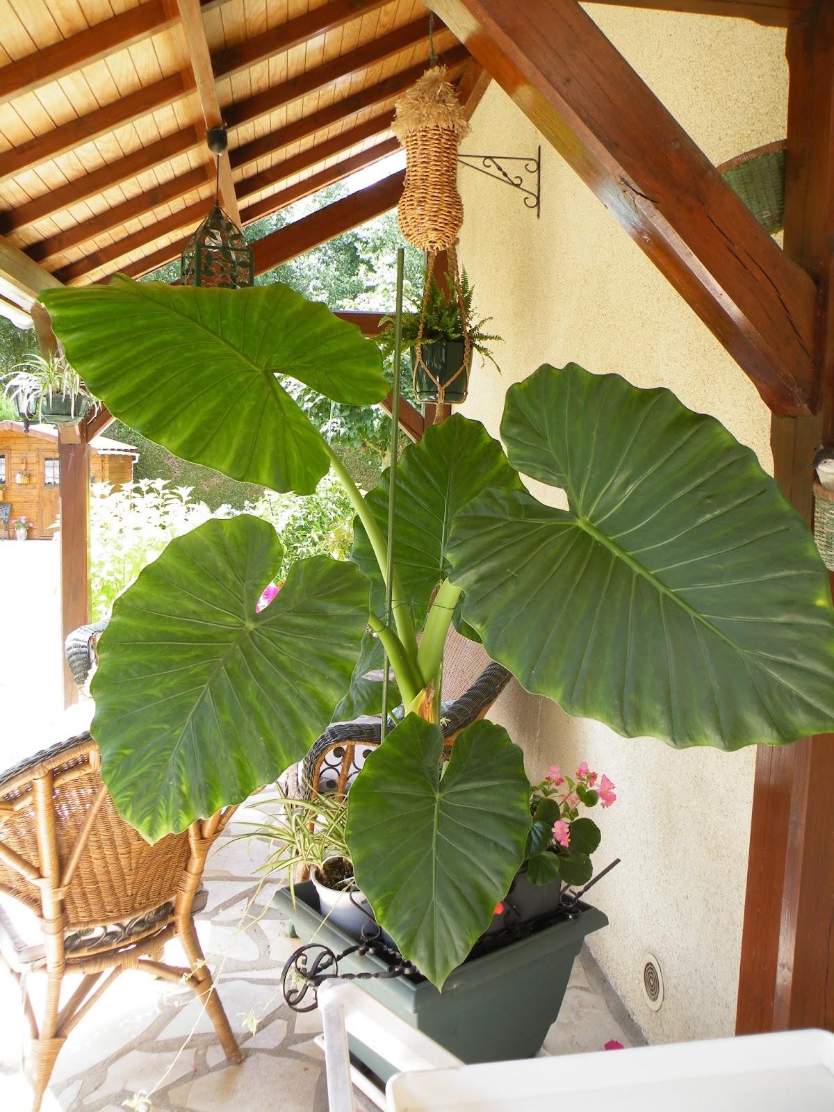 Du four au jardin et mes dix doigts belle plante for Plante 5 doigts bahamas