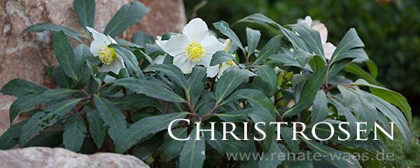 Christrosen für den Garten pflanzen, pflegen, vermehren