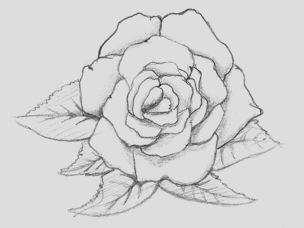 Rose Flower Drawing Rose Drawing Flower Wallpapers