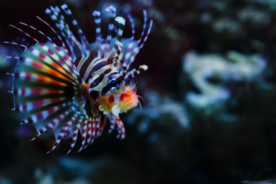 Lionfish Eating Prey