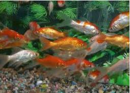 Jenis Ikan Koki Common perawatan dalam akuarium