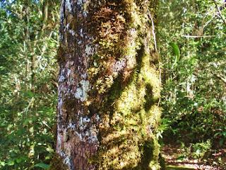 pohon berlumut