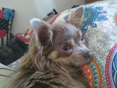 Chihuahua color lila