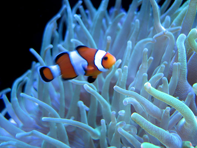 Clown fish for Clown fish habitat