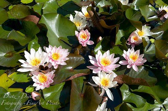 Kleine Seerosen (Nymphaea candida)
