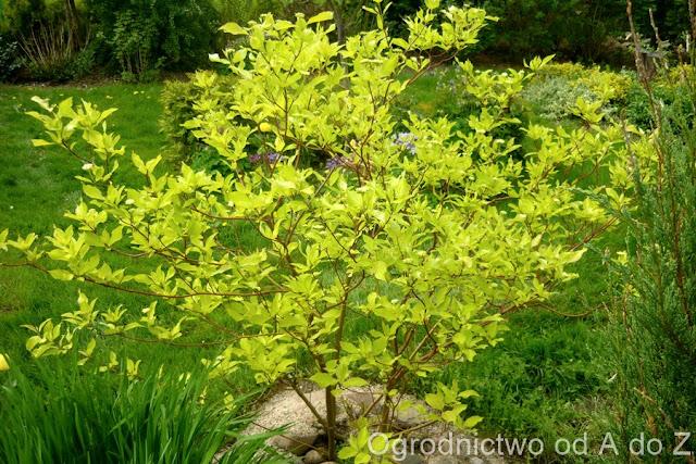 Cornus  alba 'Aurea'