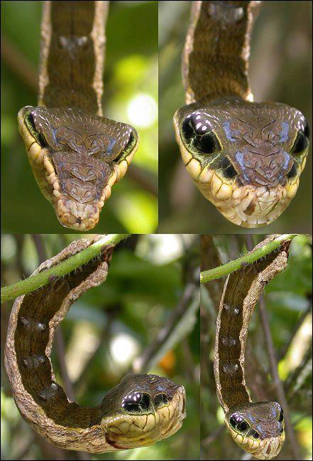 Larva of the Hemeroplanes Triptolemus Moth