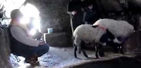 Hamam Sefası Yapan Koyunlar İzle