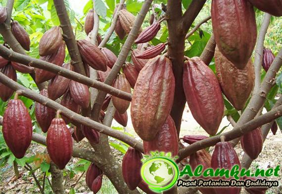 Panduan Cara Sambung Samping Tanaman Kakao