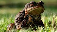 Toad pictures_Bufo alvarius Girard