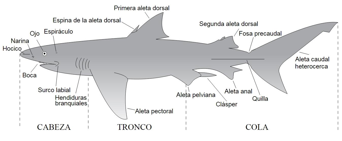 Protejamos las Maravillas del Mar: La natación de los tiburones ...