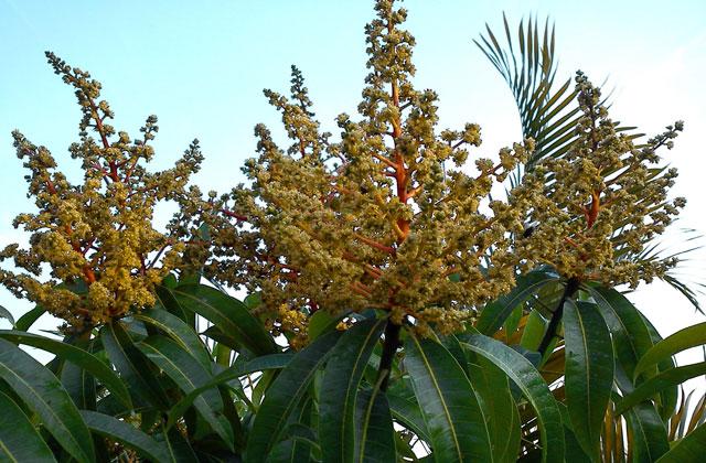 cara mengatasi bunga buah mangga mudah rontok