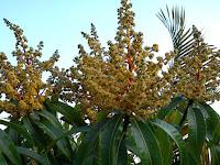 Penyebab Bunga/Bakal Buah Mudah Rontok dan Cara Mengatasinya