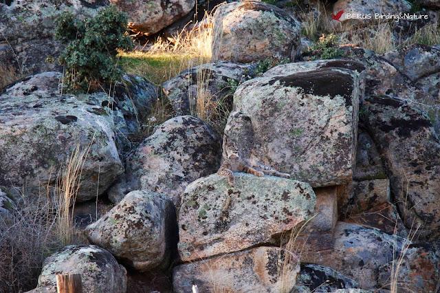 Lince en la sierra de Andújar