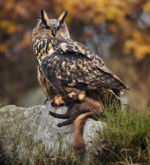 Indian birds - Picture of Eurasian eagle-owl - Bubo bubo