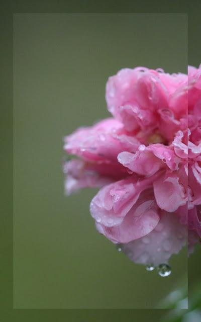 rosier grimpant fleurs groupées