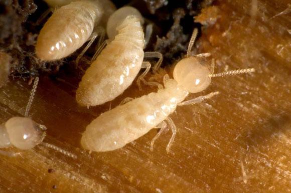 ما أسباب وجود النمل الأبيض في البيت؟