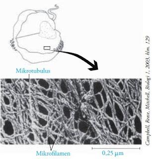 struktur sitoskeleton