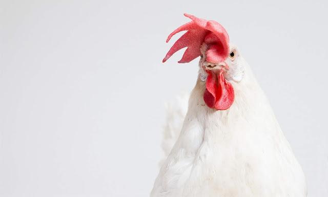 Cara Lengkap Mengembangbiakan Ayam, Dari Pemilihan Pejantan Sampai Penetasan