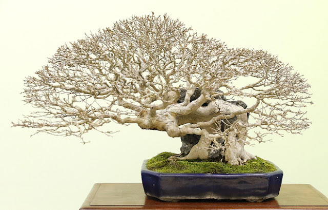 Taiken-Ten Bonsai exhibition - most of Bonsai exhibition are in autumn, thats when the trees manifest their true beauty