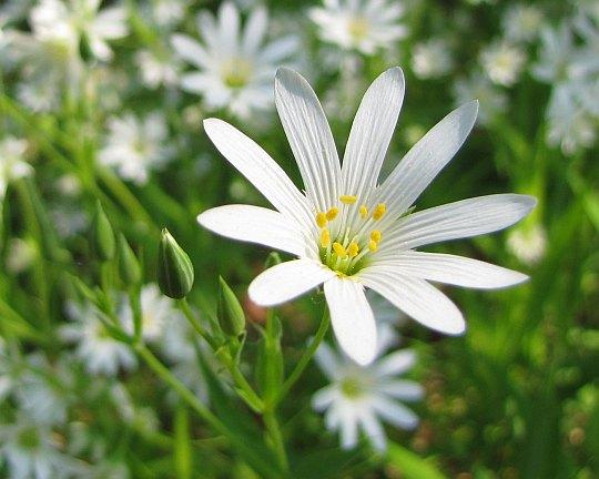 Rogownica polna (Cerastium arvense).