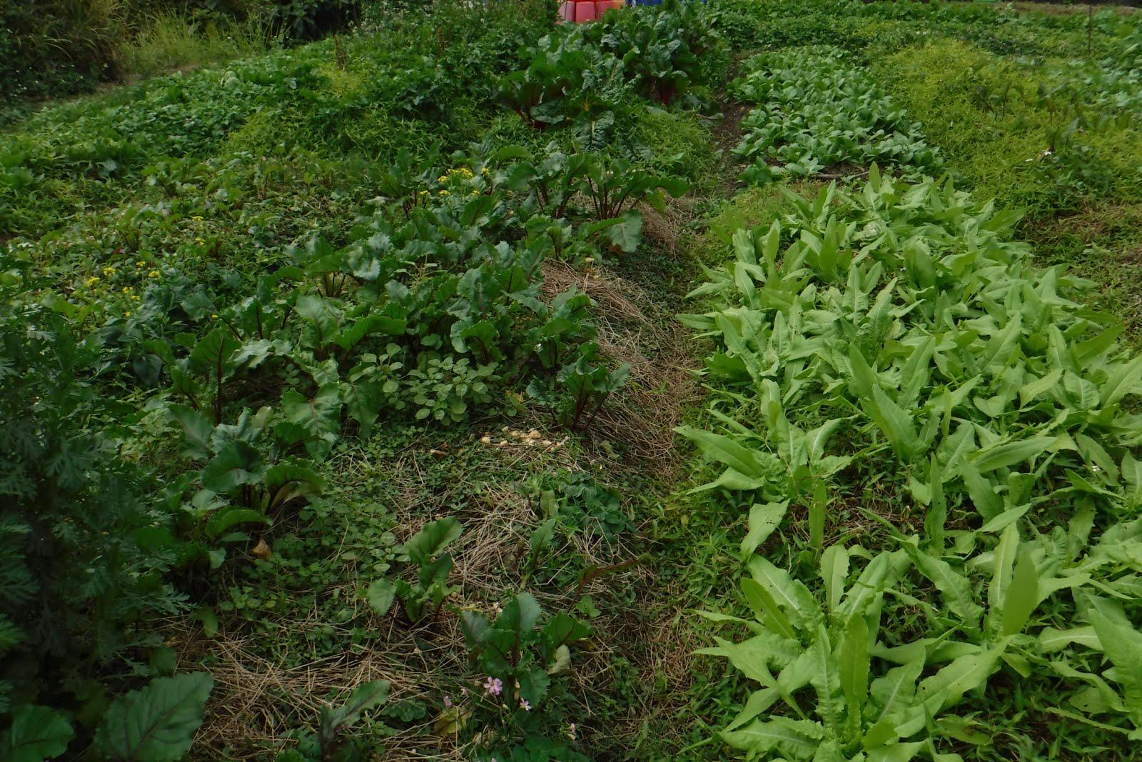 鄭立勳 。常滿。 Mandy Cheng: Vegetable farm visit in Hong Kong. Soil Farm 鄉土學社