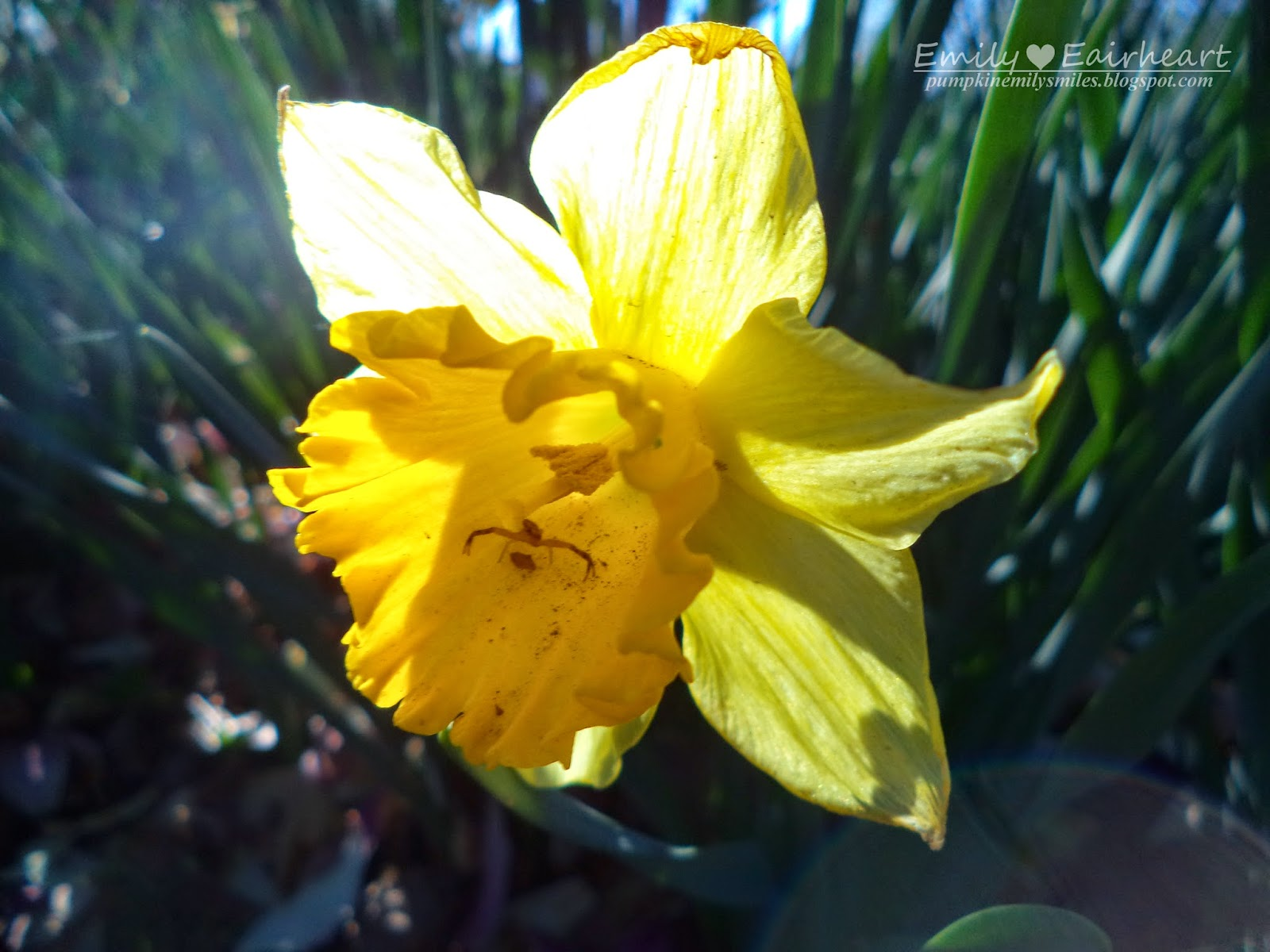 Bright yellow Daffodil