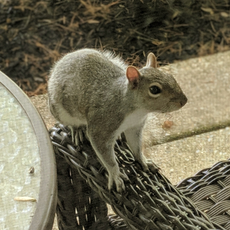 image of a grey squirrel perched on the arm of the chair, turned to the side