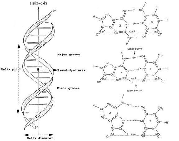 DNA Interactive:The DNA Structure: DNA structure