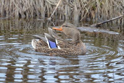 Duck Date