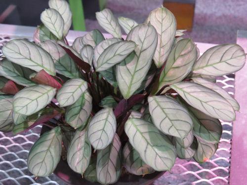 Calathea amagris