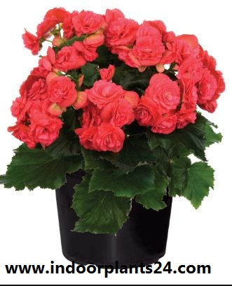 wax begonia indoor house plant pictures
