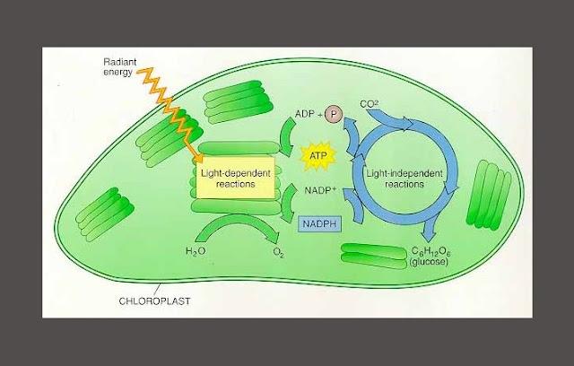 Anabolisme, Fotosintesis